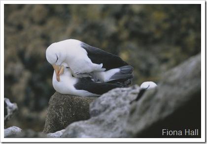 Albatrosses in Antarctica