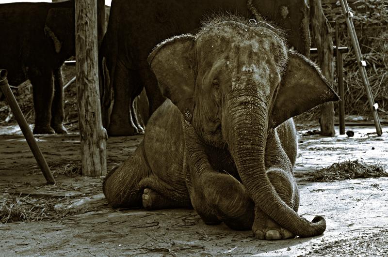 baby elephant copyright Aloha Lavina