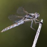 8 Tips For Photographing Dragonflies