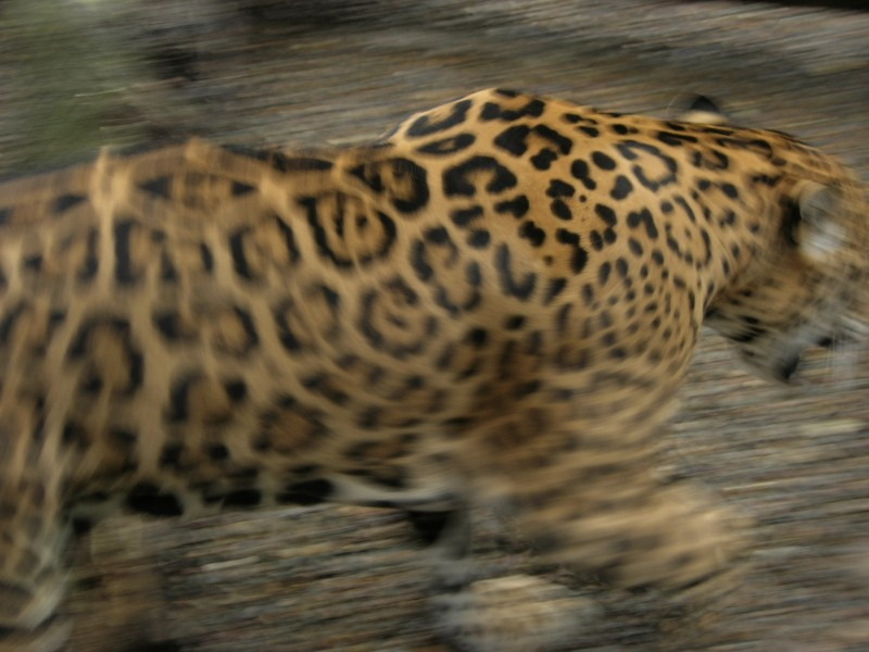 The blur of a fleeing jaguar really animates and brings new life to a scene.- Chase Guttman