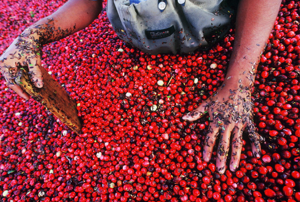 The red stained fingernails of this cranberry harvester, although a small detail, tells a story that extends beyond what is seen in the frame.- Peter Guttman