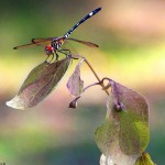 35 Amazing and Colourful Photographs of Dragonflies
