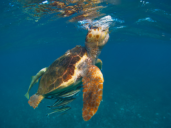 """Sea Turtle"" by Ian Plant"