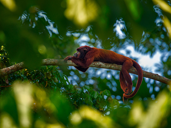 """Red Howler Monkey"" by Ian Plant"