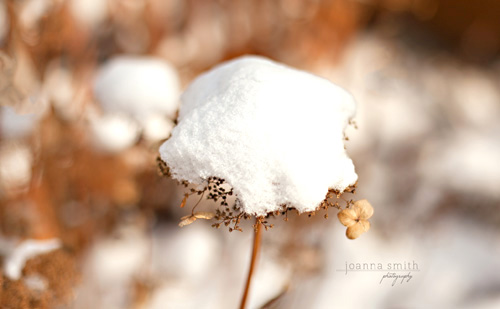 Snow on a Hydrangea by Joanna Smith Photography