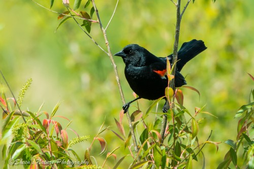 Red-Winged Blackbird poses for his visitors. ©Sheen's Nature Photography