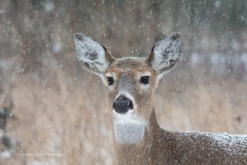 A Dear Deer