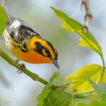 Bird Photography at Magee Marsh, The Warbler Capital of the World