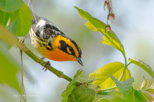 Blackburnian Warbler at Magee Marsh