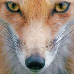 15 Magical Photographs of Foxes