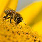 Sweet Honey-Bee ©Sheen's Nature Photography