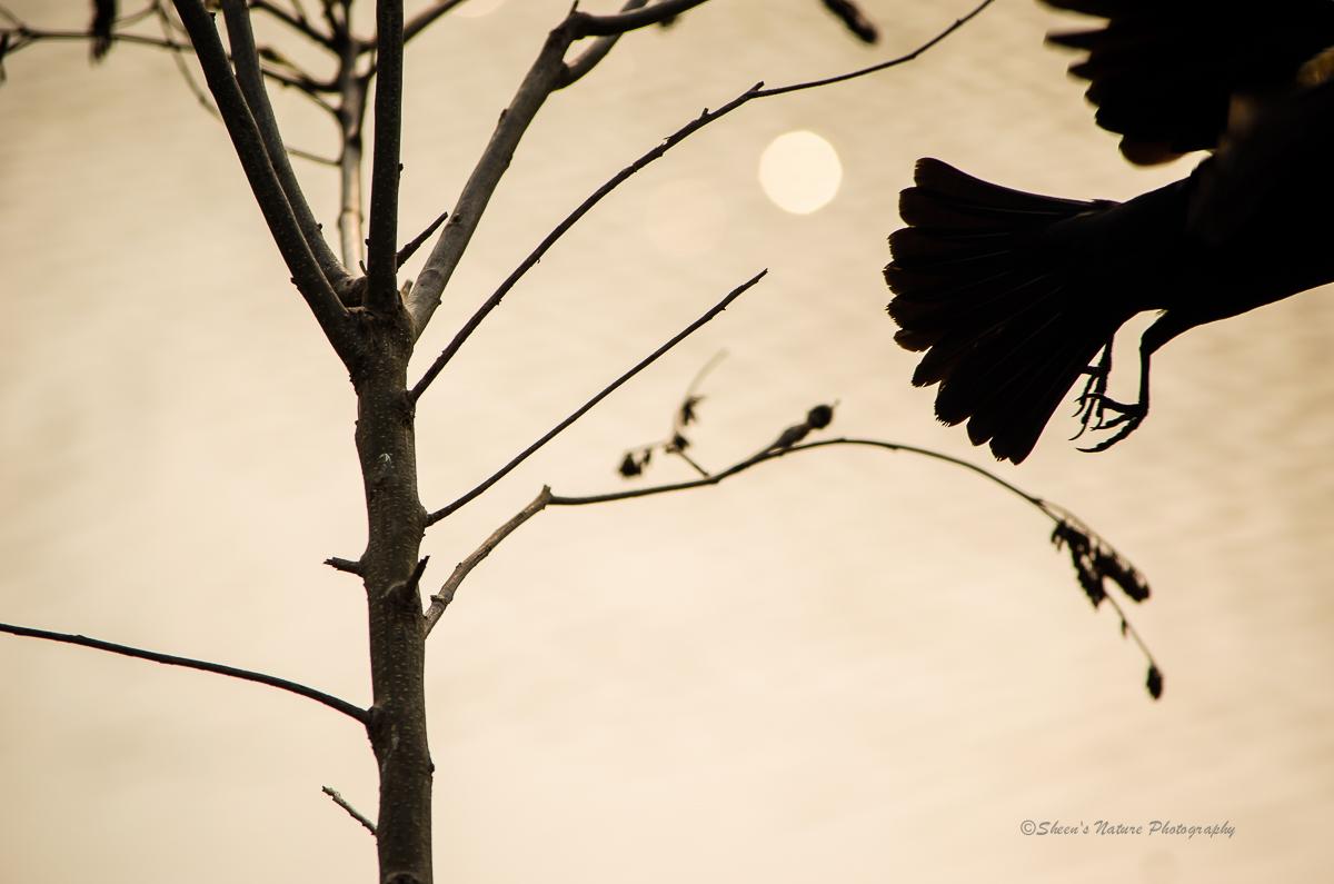 Edgar Allan ©Sheen's Nature Photography