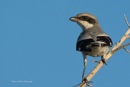 Shrike! ©Sheen's Nature Photography
