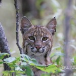 IMG_9630-LS-bobcat-bob-zeller