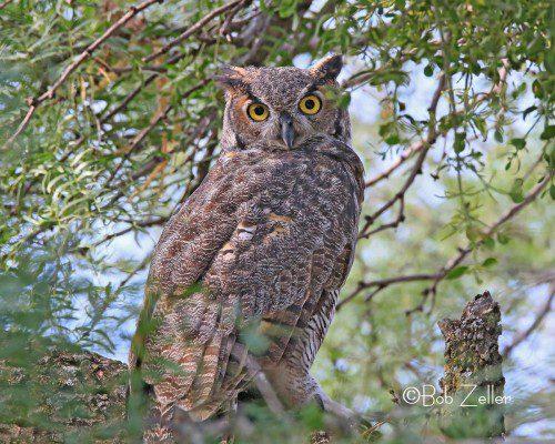 IMG_9656-LS-owl-horned-bob-zeller