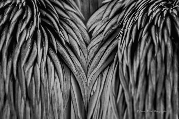Pelican's wings by ©Sheen's Nature Photography