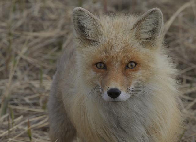Alaska Red Fox (Vulpes vulpes)