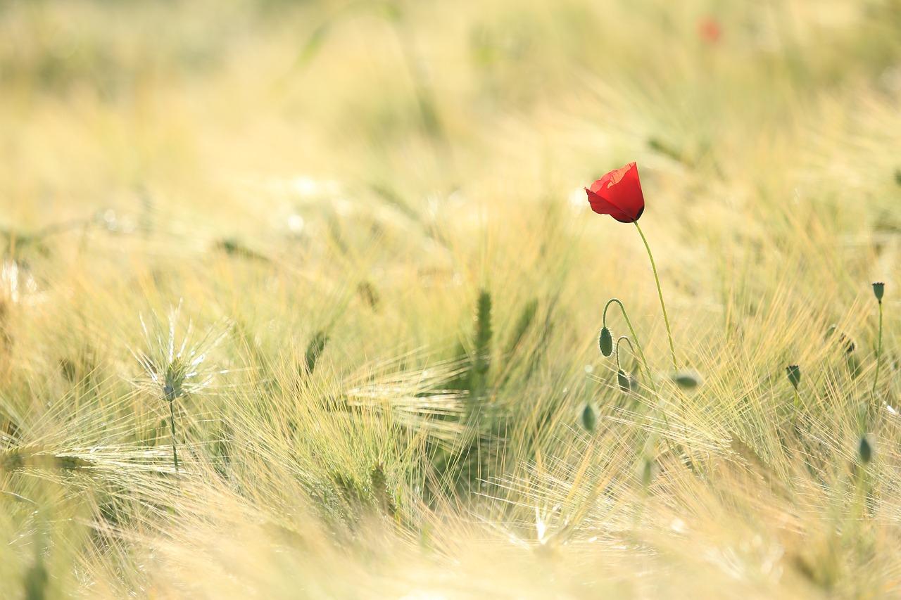 poppy in field