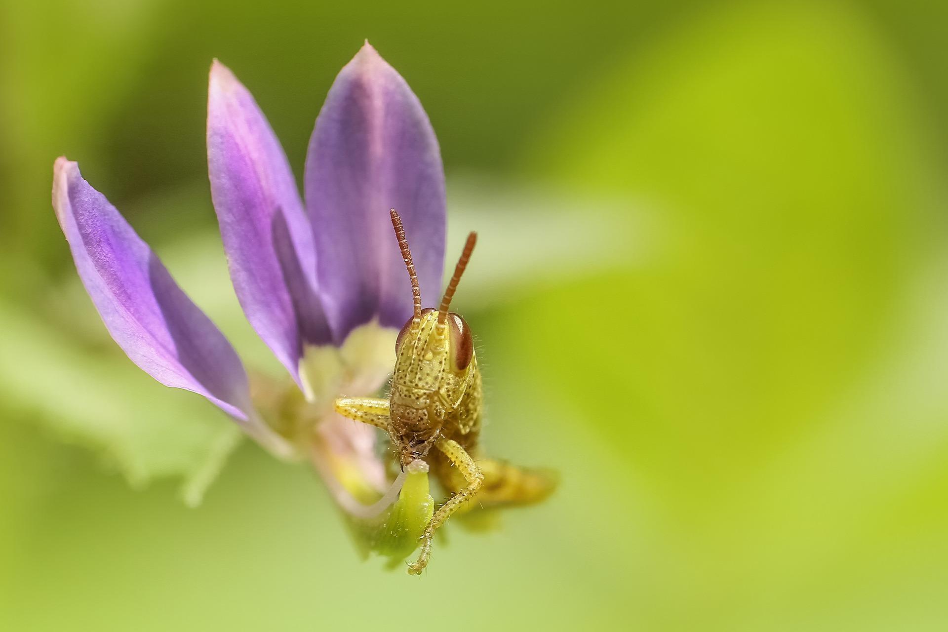 grasshopper-1137243_1920