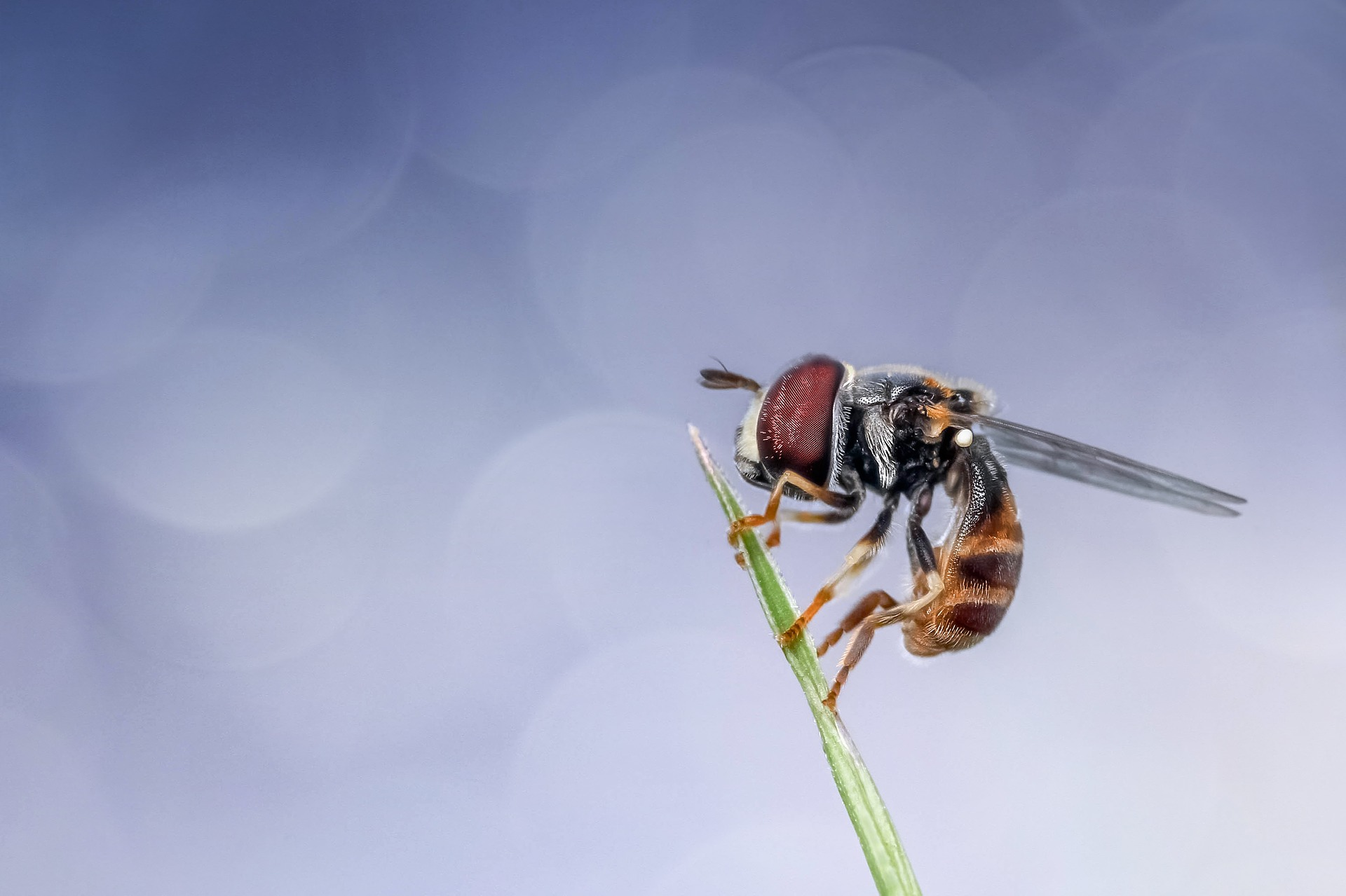 hoverfly-1128253_1920