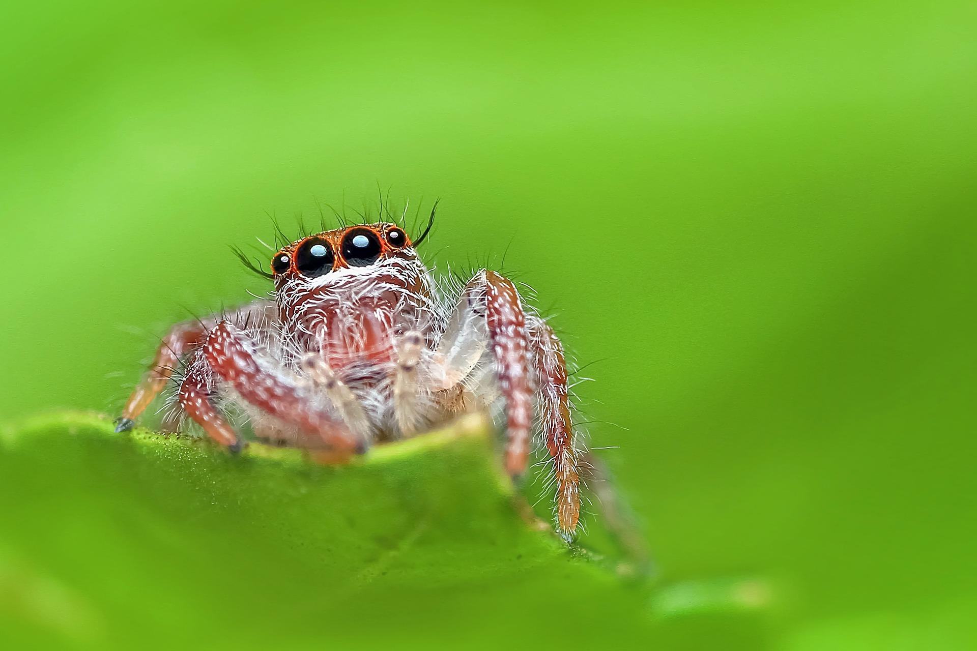 jumping-spider-1091142_1920