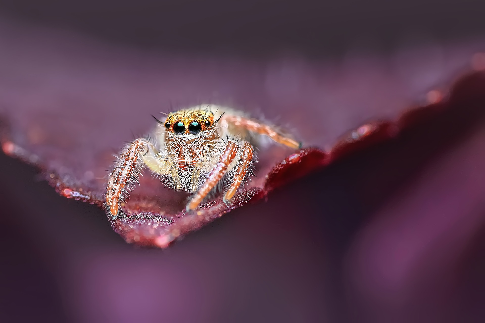 jumping-spider-1130504_1920