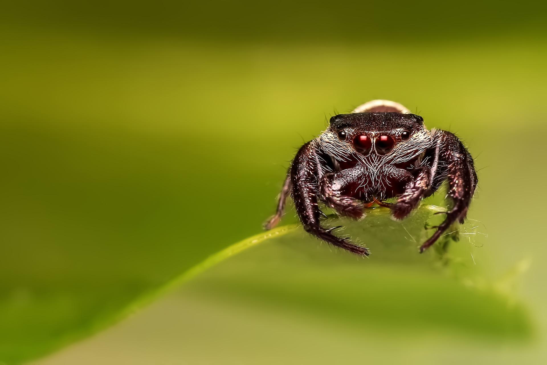 jumping-spider-1137288_1920