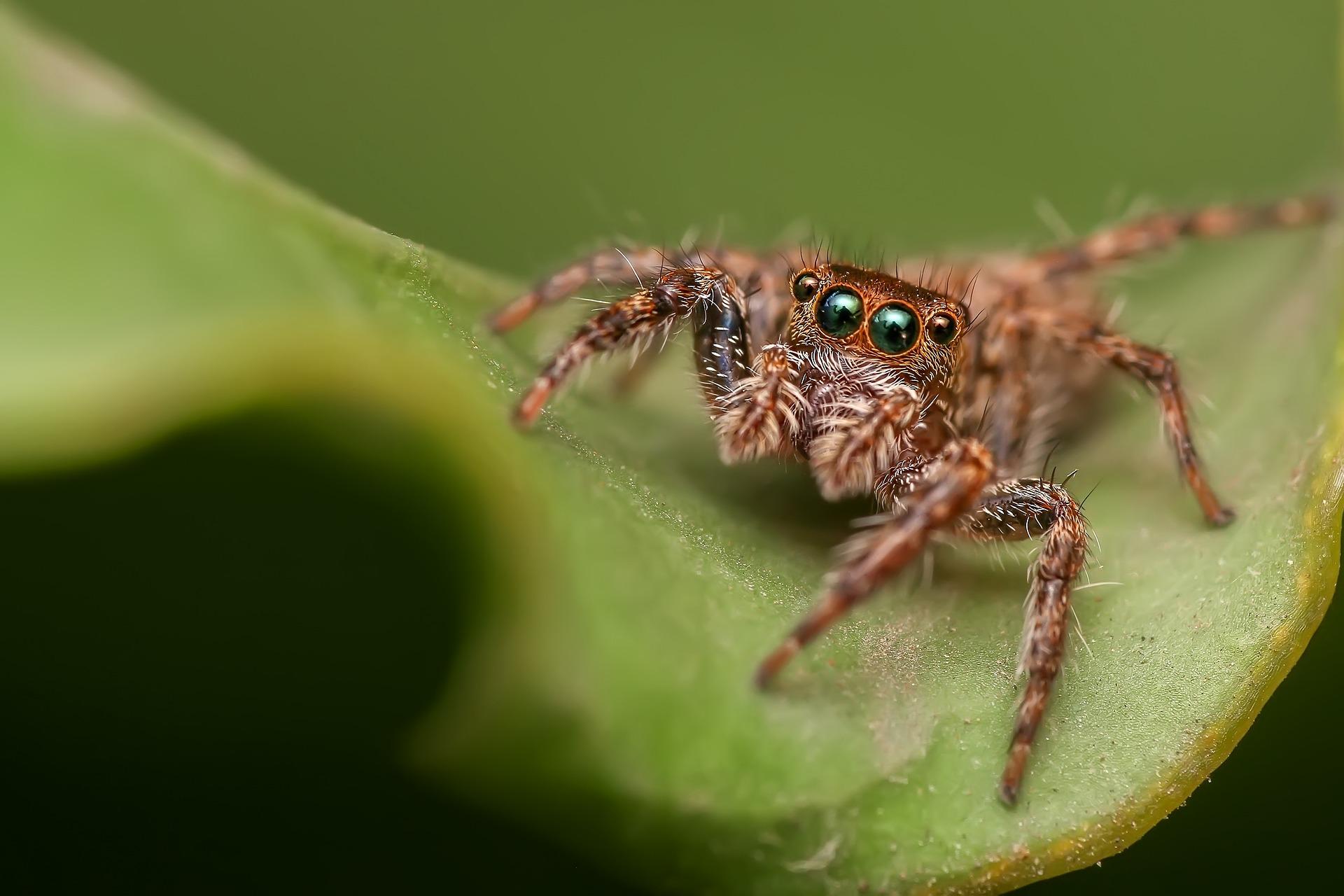 jumping-spider-1153974_1920