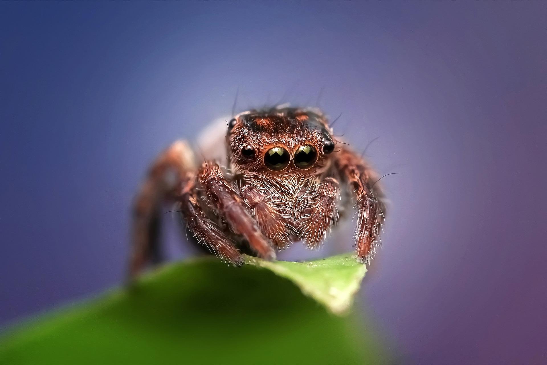 jumping-spider-1183412_1920