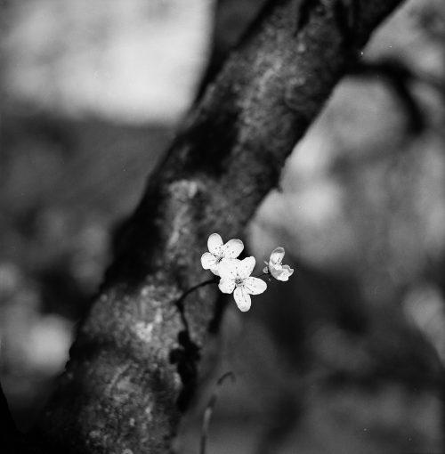 plum-blossom-1308481_1920