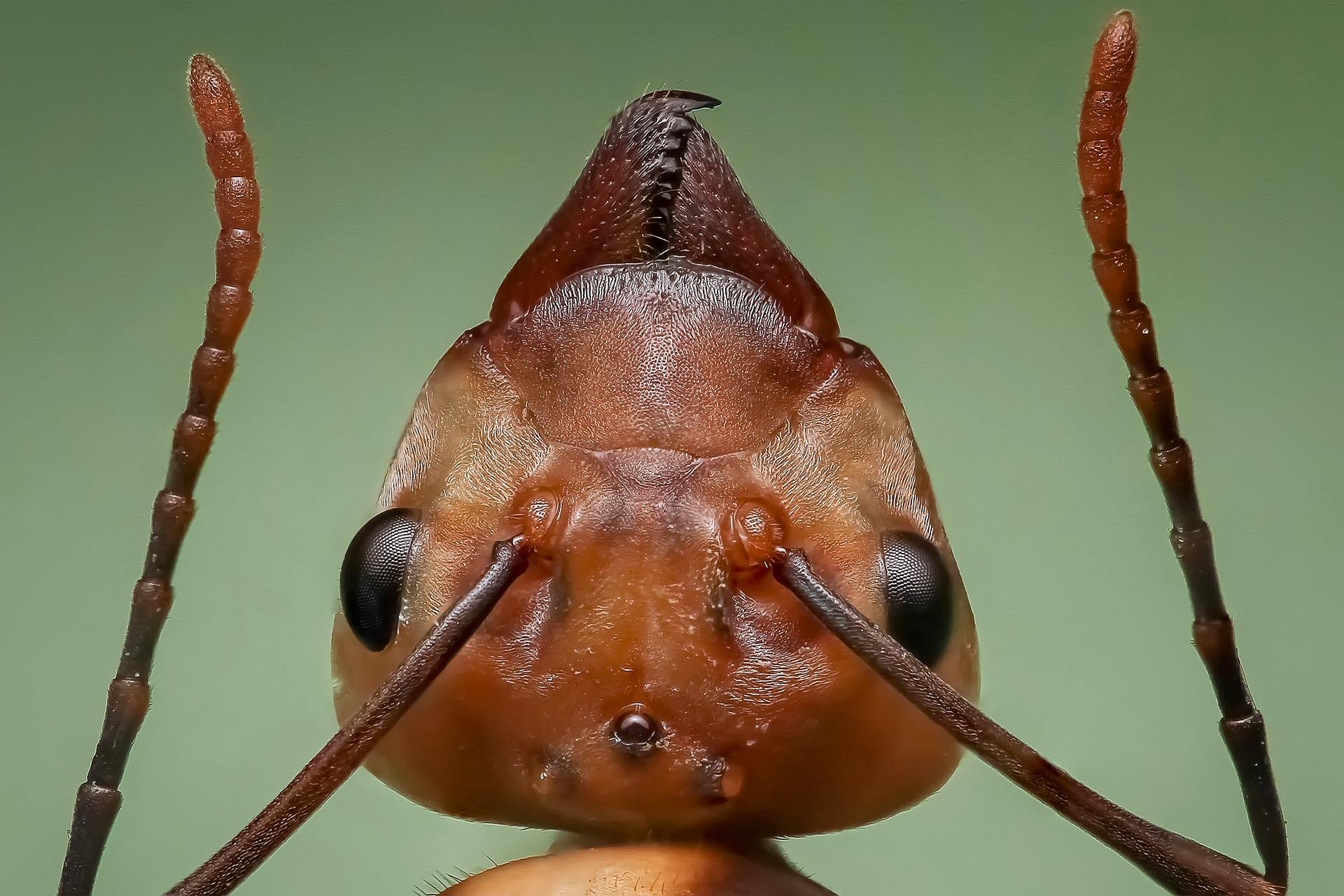 queen-ant-1193472_1920