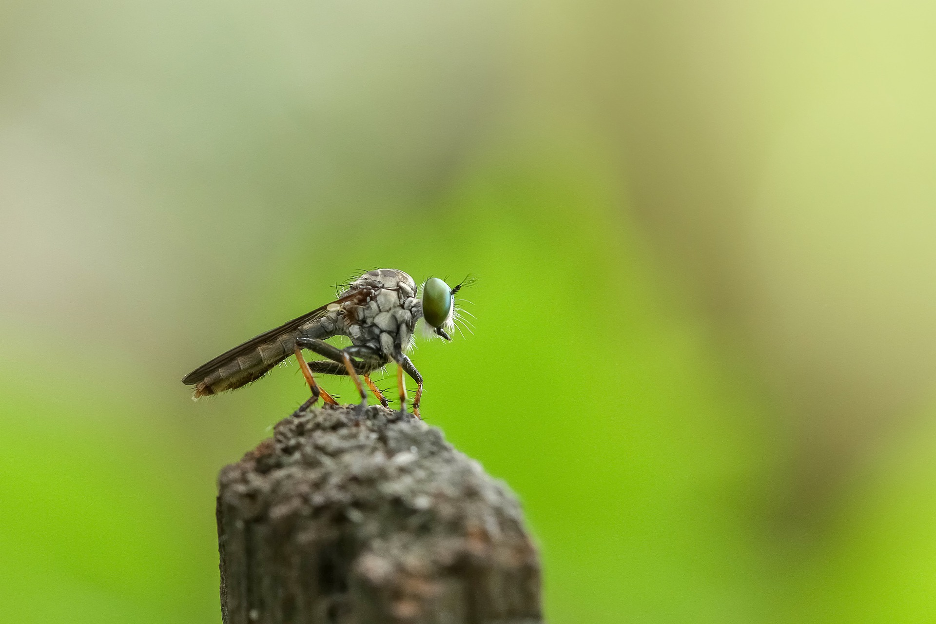 robberfly-1122508_1920
