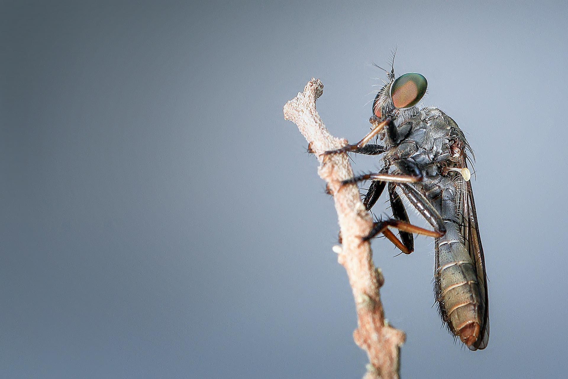 robberfly-1130469_1920