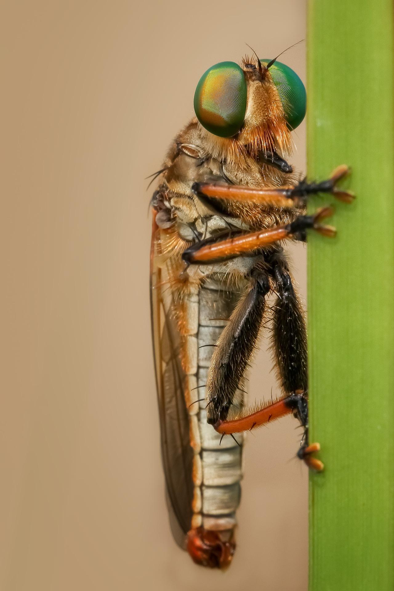 robberfly-1142401_1920