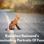 Portraits Of Foxes