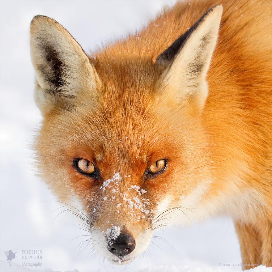 Miss Fox