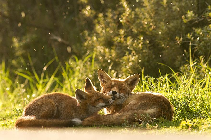 foxes-roeselien-raimon