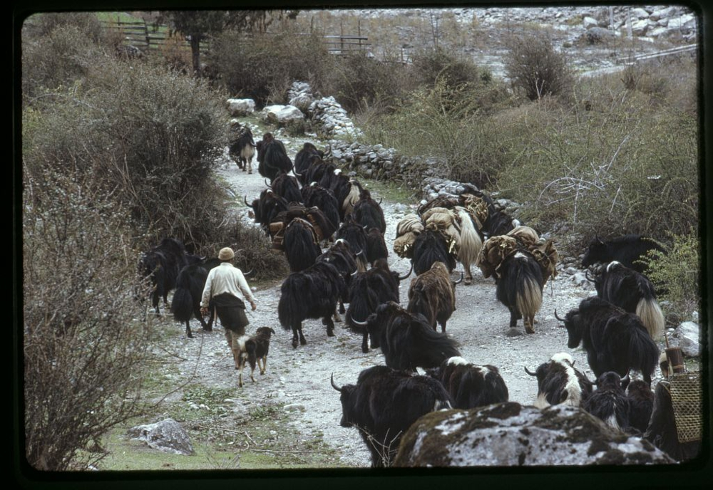 People herding yaks along a mountain path to higher grazing land, Sikkim