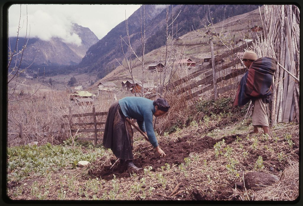 Woman and boy, members of the Jorbu family, farming in a field next to a fence, Lachung, Sikkim