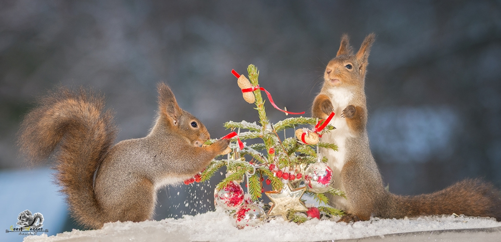 red squirrels with a christmas tree