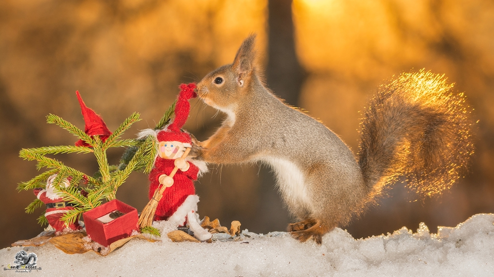 wild red squirrel with a santa and christmas tree
