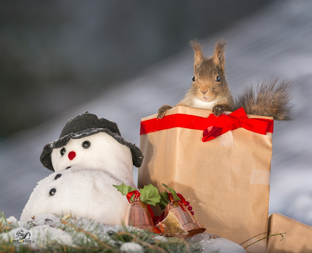 red squirrel standing in a christmas present with a snowman