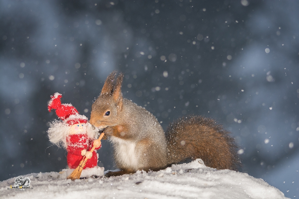red squirrel with christmas doll while snowing