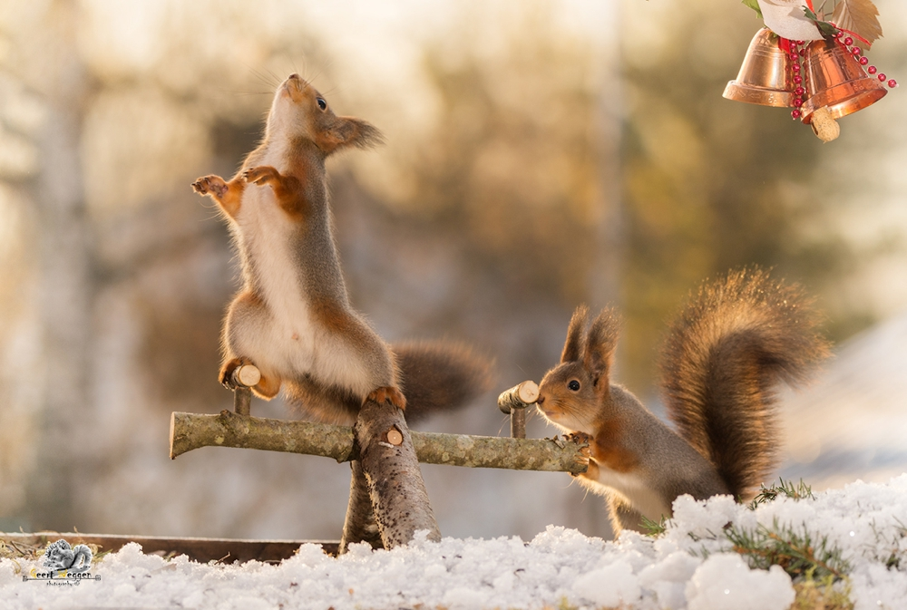 red squirrel standing on a play tool looking away while another is pushing and bells in corner