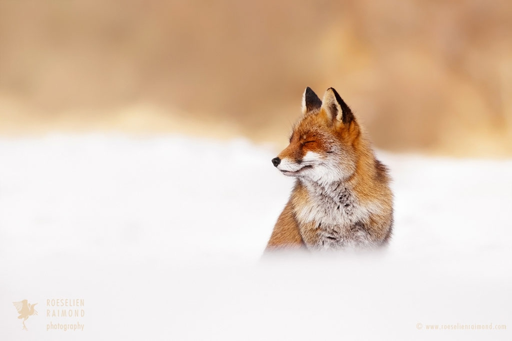 1_red_fox_snow