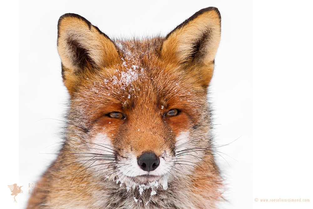 2_red_fox_icicles