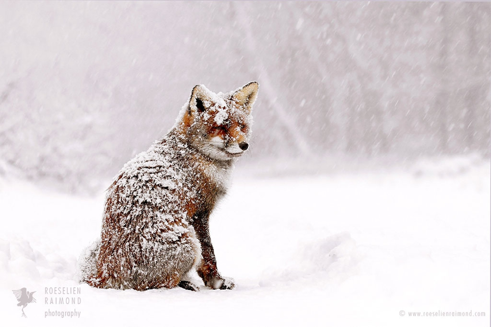 6_red_fox_snowstorm