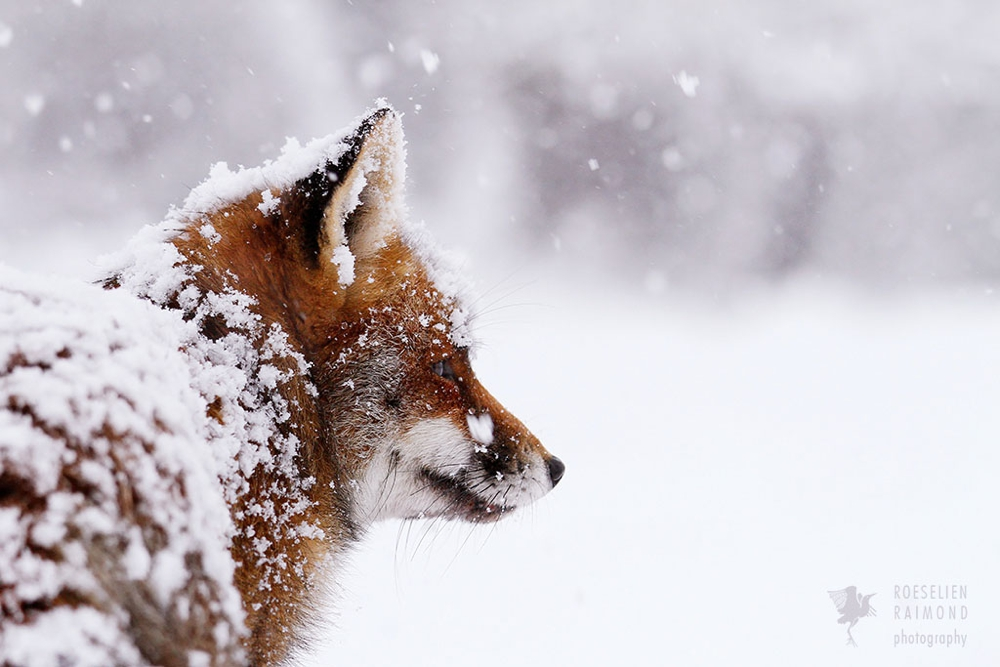 8_red_fox_snow_portrait
