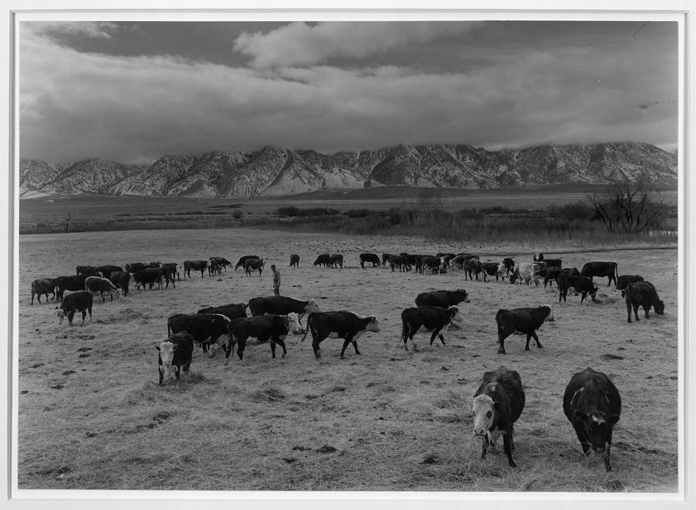 Cattle in south farm, Manzanar Relocation Center, California