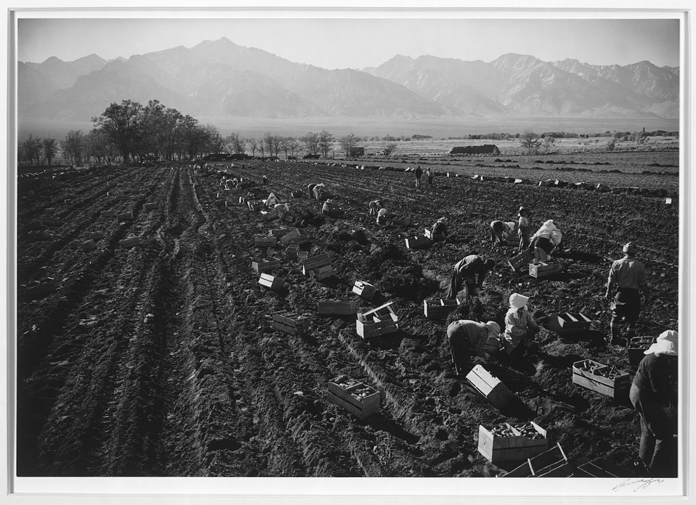 Potatoe, [i.e., Potato] fields, Manzanar Relocation Center